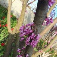 Цветы багульника :: Наталья Аринцева