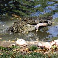 Крокодильчик :: vasya-starik Старик