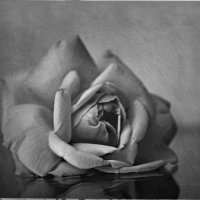о розе :: Евгения Шаталова