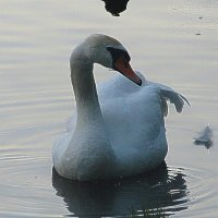 лебедь :: Pasha Karpov
