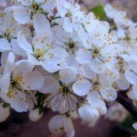 Вишня в цвету :: Елена Семигина