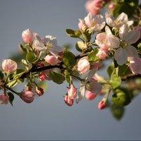 Яблони в цвету :: Ирина Приходько