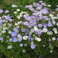 Брахикома иберисолистная (Brachicome iberidifolia) :: Елена Павлова (Смолова)