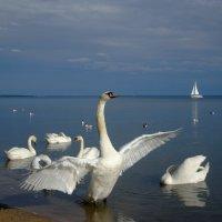 Лебеди :: Сергей ***