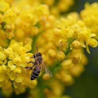 Раз пчела в теплый день весной ... :: BoykoOD