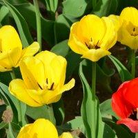 Тюльпаны. :: Oleg4618 Шутченко
