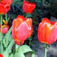 Вот опять огнем пылают  красные тюльпаны. :: Валентина ツ ღ✿ღ