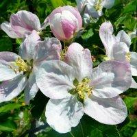 Яблони цветут! :: Чария Зоя