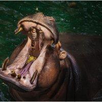 Очень кушать хоццаааа...Открытый зоопарк Као Кео...Паттайя,Таиланд. :: Александр Вивчарик