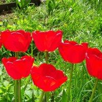 Алые тюльпаны :: Святец Вячеслав