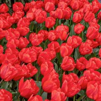 Tulips in Holland 04-2015 (9) :: Arturs Ancans