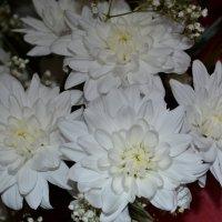 хризантемы :: Светлана
