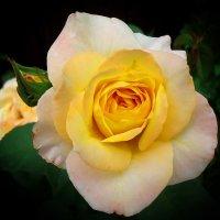Роза :: Виктория Власова