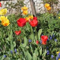 Красные и жёлтые тюльпаны :: Наталья Золотых-Сибирская