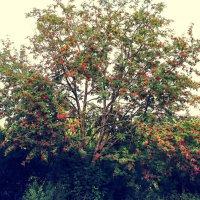 Красное дерево :: Дима Вахрушев
