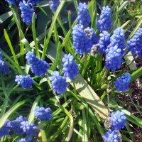 Голубой фонтан мускари :: Нина Корешкова
