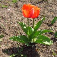 Учусь снимать тюльпаны :: Андрей Лукьянов