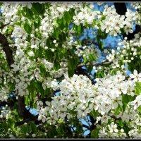 Майское цветение... Псков. :: Fededuard Винтанюк