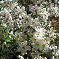 Весны творенье! :: Елена Семигина