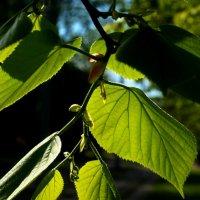 Листья в вечернем Солнце :: Viktor Heronin