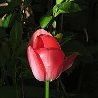 майский тюльпан :: Александр Корчемный