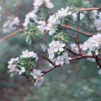 Яблоня в цвету :: Райская птица Бородина