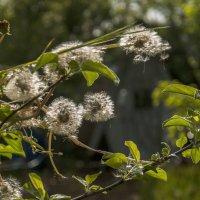 Одуванчивовое дерево... :: ФотоЛюбка *