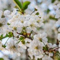 Вишня цветет... :: Татьяна Калинкина