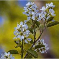Яблони в цвету :: Андрей Дворников