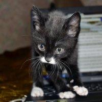 Маленький котёнок Тайсон :: Никита Мяу