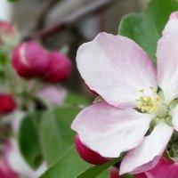 Яблони в цвету...!!! :: МаRина Я