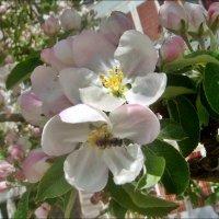И светили яблоньки  бело-розовым светом :: Нина Корешкова