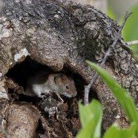 Лесная мышь :: Лада Котлова