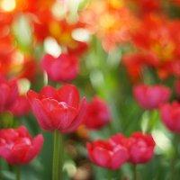 тюльпаны :: ирина Лепейко