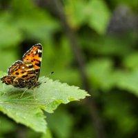 Бабочка :: Олег Чернов