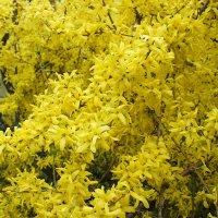 Цветёт форзиция фонтаном брызг лимонных :: Елена Павлова (Смолова)