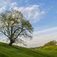 Одинокое дерево на склоне :: Сергей Корнев