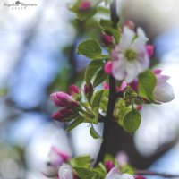 Цветущий май :: Анжелика Сазонова