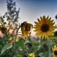Солнце лета :: Valery Bogatireva