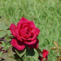 Есть шип у розы для врага... :: Маргарита Савинова