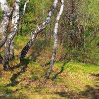 Танцевали берёзки в весеннем лесу... :: Галина Стрельченя