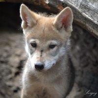Молодой волчонок :: Сергей Стреляный