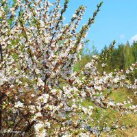 Цветёт и радует весна... :: Галина Стрельченя