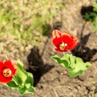 Как он красив – тот пламенный цветок! На длинном стебле горд и одинок. :: Инна Пивоварова