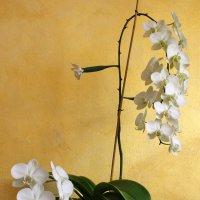 моя орхидея :: Ефим Журбин