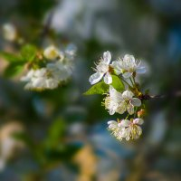 Вишня цветёт. :: Moloh.75 Евгений