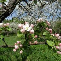 Ветка яблони :: Svetlana27