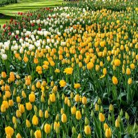 Tulips in Holland 04-2015 (13) :: Arturs Ancans