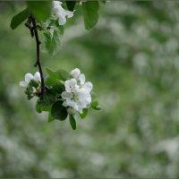 Цвет яблони... :: Наталья Rosenwasser