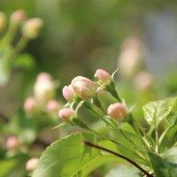 Яблоня цветет :: Ptica Ptica